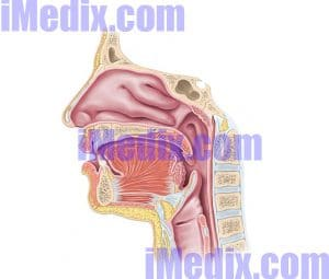 Which of the following is not part of the upper respiratory tract?